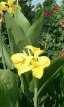 Canna King City Gold Yellow red dotted center flowering dwarf 5 bulbs rh... - $37.95