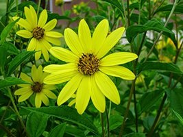 Non GMO Bulk Lemon Queen Sunflower Seeds- Helianthus annuus (10 Lbs) - $381.10