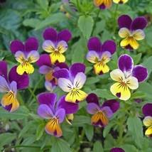 Very Rare Flower Seeds 4 Variety Viola Johnny Jump-up Tricolor #IMA47 - $14.99+