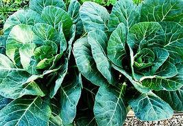 100 Pcs Collard Seeds, Champion, Heirloom Collards, Collard Greens Seeds - $13.99