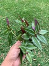 9 Cuttings - Wandering Jew Tradescantia Green Purple Silver 6 inch #HWG3 - $20.99