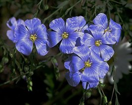 1 Pound Seeds of Blue Flax - $77.12