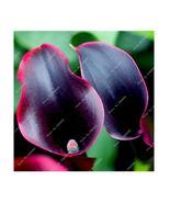 HAPPY FLOWER 2 Bulbs True DARK RED Calla Lily Flower Zantedeschia Love S... - $2.49