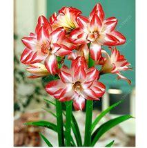 HAPPY FLOWER 2 Bulbs PISANG CANDI True Hippeastrum Rutilum Amaryllis Lov... - $1.78