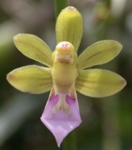 Cleisostoma simondii Orchid Plant Vanda Blooming Size 1120c Fragrant Rare - $37.80