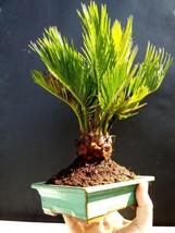 Cycas revoluta / Japanese sago palm - 8 year old plant - $74.55