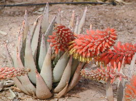 Aloe Claviflora Jackal's Tail Exotic Succulent Rare Agave Plant Seed 10 Seeds - $18.00