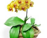 Phalaenopsis orchid seeds indoor bonsai orchid pot flower seeds home garden plants thumb155 crop
