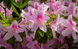 BEST PRICE 20 Seeds Azalea Flowers for Home Garden, FS DIY Flower Seeds - $6.47