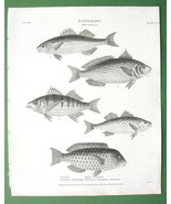 FISHES Ichthyology Sciaena Corvina Parrot - 1820 Original Antique Print - $11.10