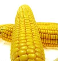 Heirloom Yellow Waxy Corn Vegetable Seeds 10 Seeds / Pack, Organic Maize Garden  - $5.90