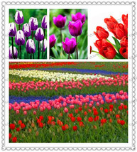 300pcs/bag True tulip seeds,tulip flower,Flowers symbolizes love,tulipa ... - $8.04