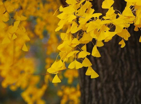 Organic 5 Ginkgo biloba gingko Maidenhair Tree seeds nuts Bonsai Tree grown from image 3