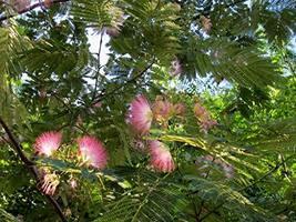 2 Starter Live Plants Silk Mimosa Tree Fragrant Pink Flowers Albizia Lan... - $45.40