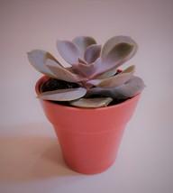 "Echeveria Perle von Nurnberg Succulent in Red Pot, Live Plant Echeveria PVN 2"" image 1"