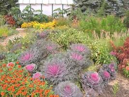 50 Seeds - Mixed Ornamental Cabbage Flowering Brassica Oleracea - $17.99