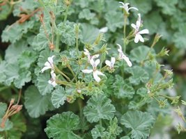 1 Starter Plant of Old Spice Scented Geranium - $29.70