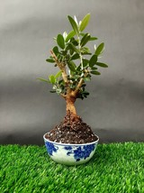 Olive tree Micro Bonsai - Special plant - From the private collection - $85.44