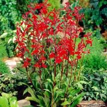 Red Cardinal Flower 5 roots, Lobelia Cardinalis image 3
