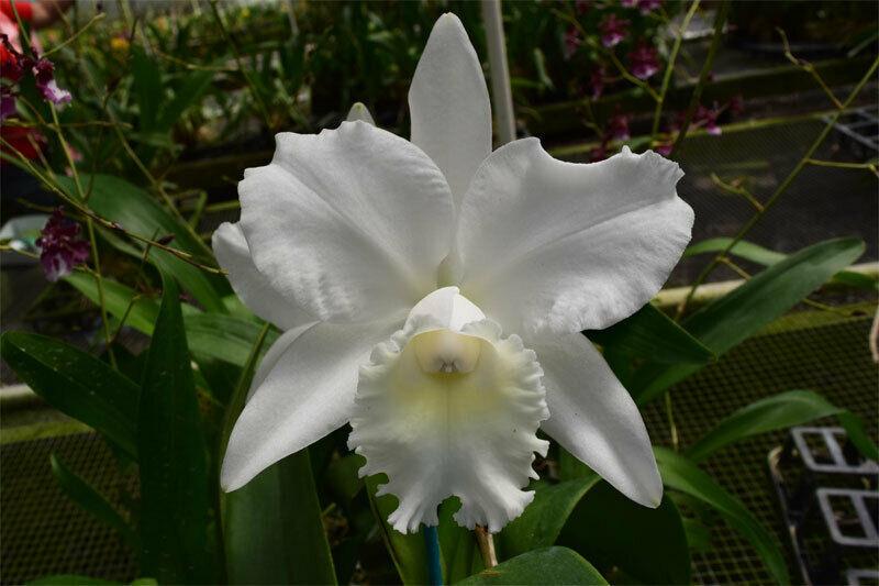 C. Hawaiian Wedding Song 'Virgin' CATTLEYA Orchid Plant Pot BLOOMING SIZE :: 22b
