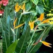 1 Starter Plant - Bird of Paradise Strelitzia Reginae Plant #GGD9 - $25.99