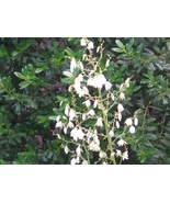 Organic Native Plant, Adam's Needle, Yucca filamentosa - $3.75