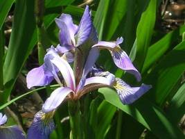Organic Native Plant, Northern Blue Flag, Iris Versicolor, P - $3.50