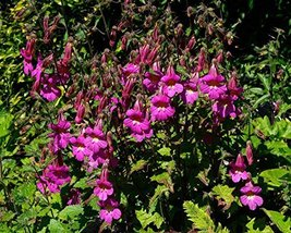 4 Starter Plants of Rehmannia Elata - $138.60