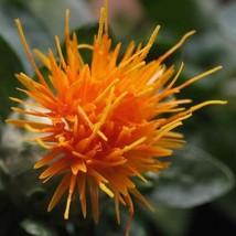 Ship From Us 300 Safflower Saffron Carthamus Tinctorius Yellow Flower Seeds SBR4 - $12.00