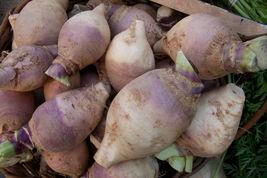 1500 seeds - American Purple Top Rutabaga Brassica Napus Root #SFB15 - $17.99