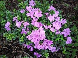 1 Starter Plant of Autumn Lilac Encore Azalea - 2 Gallon - $108.84
