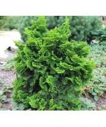 Live Plant Dwarf Hinoki Cypress ( nana gracilis ) - 3 Gallon Pot FREESHI... - $150.00