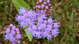 Organic Native Plant, Blue Mistflower, (Conoclinium coelstinum) Butterflies - $3.50