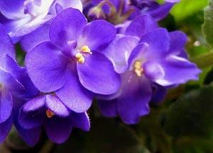 Fresh Violet Perfume Oil by BERRYSWEETSTUFF.COM Handmade