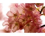 Cherry blossom thumb155 crop