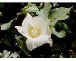 Cotton blossom thumb155 crop