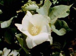 Cotton blossom thumb200