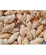 Chullas Seashells Crafts Chulla Shells Lot Wedding Beach Spiral Conch Large - $10.59 CAD