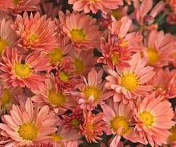"2.5"" pot chrysanthemum Rhumba coral hardy mum shasta daisy 1 Live Potted Plant - $31.99"