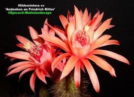 Hildewintera,hybrid,'ANDENKEN AN FRIEDRICH RITTER',PLANT,Cleistocactus,C... - $30.49