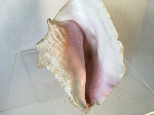 "Primary image for Decorative Extra Large Queen Ocean Pink Conch Seashell Shells 8.5"" Natural"
