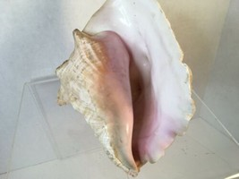 "Decorative Extra Large Queen Ocean Pink Conch Seashell Shells 8.5"" Natural - $34.99"