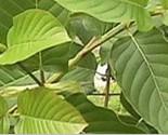 Kratom thumb155 crop
