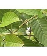 Kratom Mitragyna Speciosa Live plant - $14.00