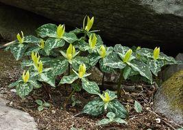 Yellow Trillium 5 bulbs (T. luteum) wildflower image 4