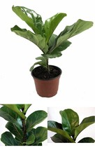 "Plant Fiddleleaf Fig Tree Ficus Indoor Tree 6""Pot Easy to Grow House Bes... - €24,25 EUR"