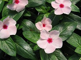 25 Seeds of Vinca Cora Apricot Annual - $16.83