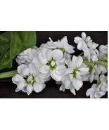 Stock (Matthiola Incana Ten Week White) Gillyflower Night scented, 40 SEEDS - $11.99