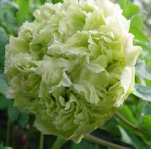 5 pcs Light Green Peony Tree Flower Seeds So Pretty  - $13.30