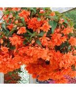 Begonia Tuberosa Illumination Orange Flower Seeds - $18.29